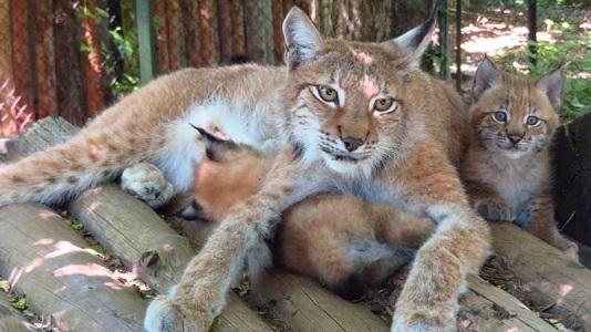 Две малки рисчета се родиха в Софийския зоопарк